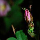 June - Wild roses by bberwyn