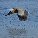 Great Blue Heron by Robin Black