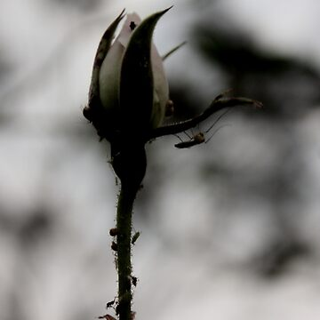 Mosquito Rose by lilliputian