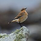 Young Wheatear by wildlifephoto