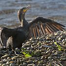 Cormorant drying its wings by wildlifephoto