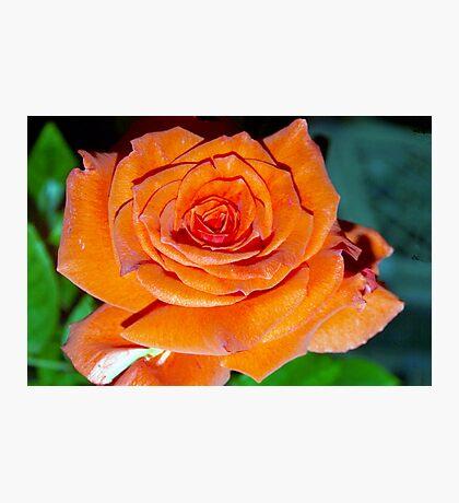 Garden Rose Photographic Print