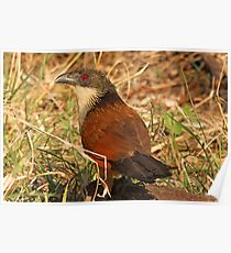 Burchells coucal(the rain bird) Poster