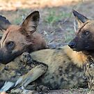 We are watching over our pack! by Anthony Goldman