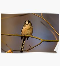 Long tailed tit Poster