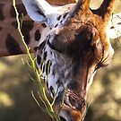 giraffe, browsing by Pat Heddles