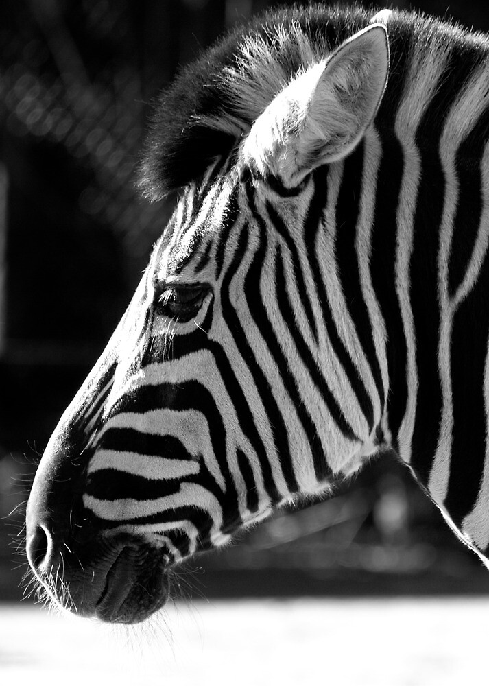 rebel zebra by Pat Heddles