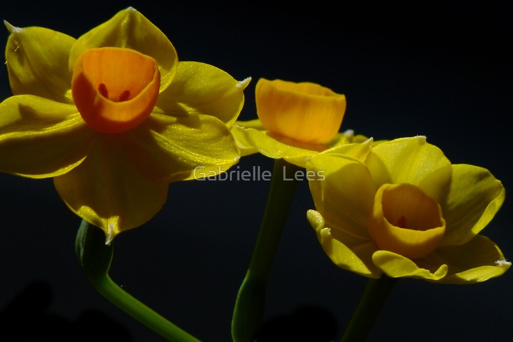 Jonquil - Soleil D'or  by Gabrielle  Lees