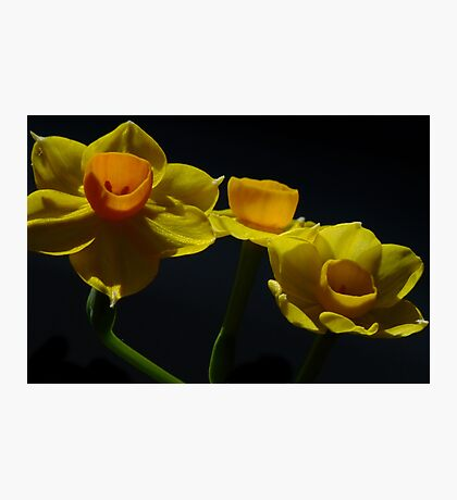 Jonquil - Soleil D'or  Photographic Print