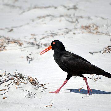 Sooty Oystercatcher by FredSmith