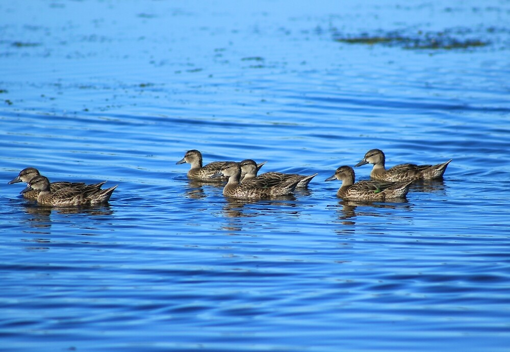 Swimming Ducks by rhamm