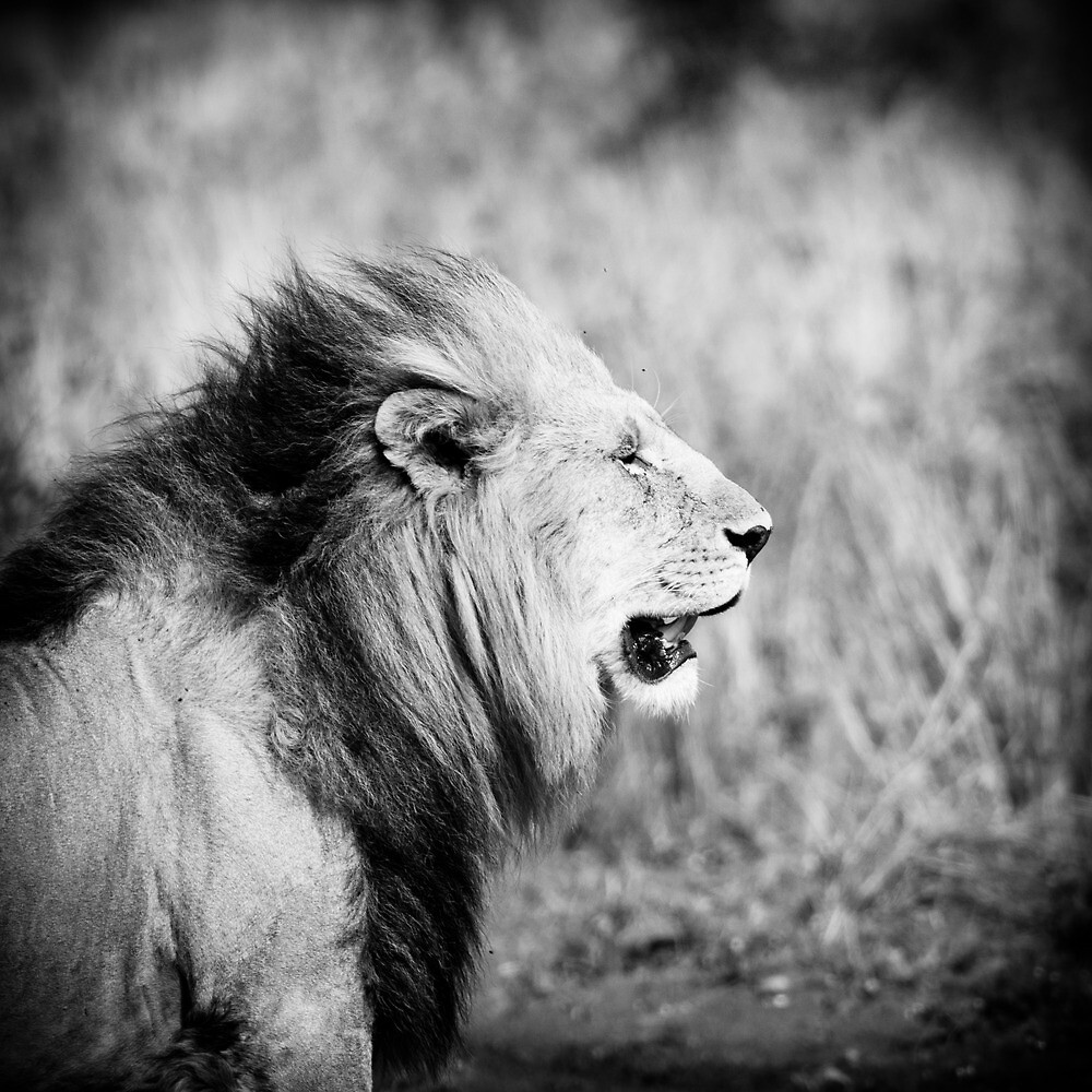 Old lion, Masai Mara, Kenya  by javarman