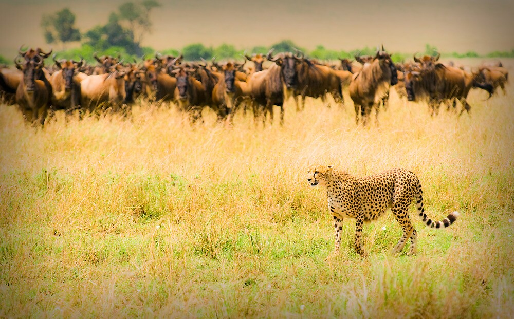 Cheetah hunting by javarman