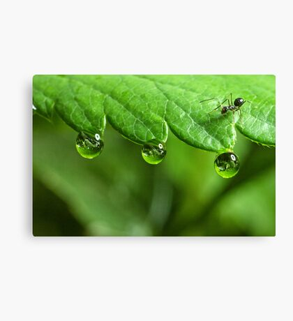Ant and Dew Canvas Print