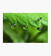 Ant and Dew Photographic Print