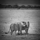 Two young lions by javarman