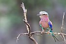 Lilac Breasted Roller by Will Hore-Lacy
