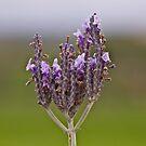 Crown of Lavender by Helen Vercoe