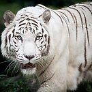 White Tiger by Michelle Joyce