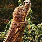 Meerkat by Carl Eyre