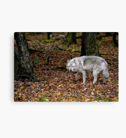 Lone wolf on the move Canvas Print