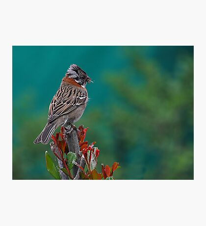 Rufous-Collared Sparrow Photographic Print