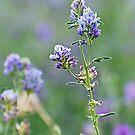 Purple Haze by Leanne Nelson