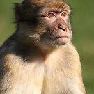 monkey by daveashwin
