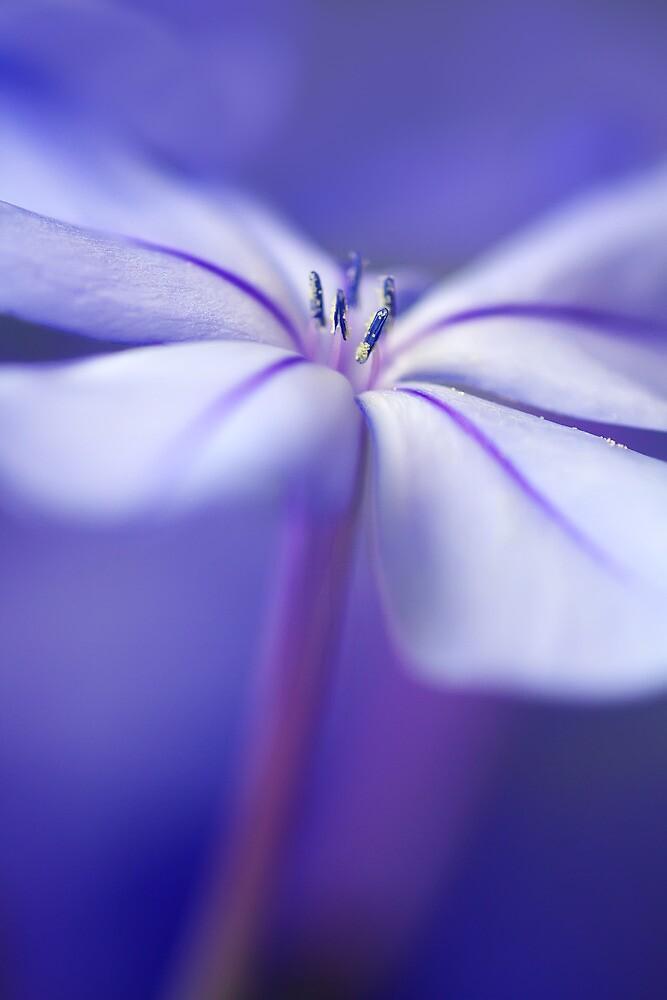 Single Plumbago Flower by Margaret Barry