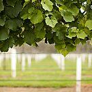 Australian Vineyard  by johnnabrynn