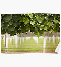 Australian Vineyard  Poster