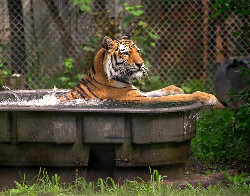 TIGER IN BATHTUB by Paul Drushler