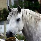 Grey Connemara Pony by ConnemaraPony