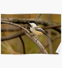 Black-capped Beauty Poster