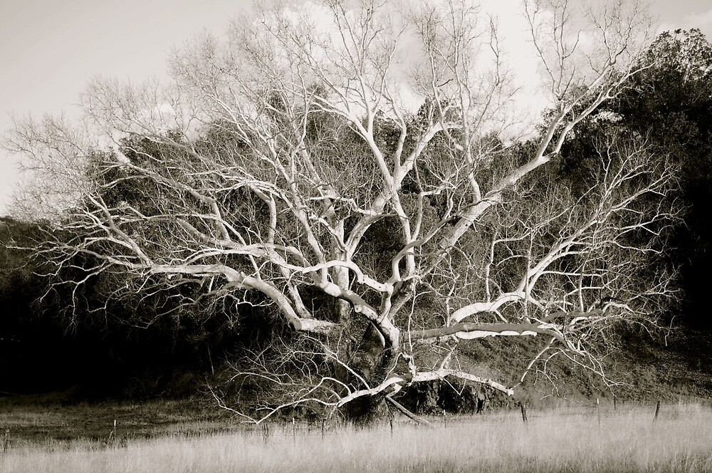 Old Branches by Gina Dazzo