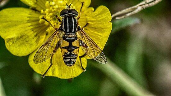 fly resting on flower by grahamdrew