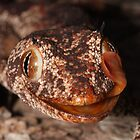 Northern Spiny-tailed Gecko by Catherine Whitehead