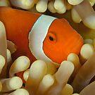 False Clown Anemonefish - Amphiprion ocellaris by Andrew Trevor-Jones