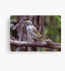 Yellow-faced Honeyeater Lichenostomos chysops Canvas Print