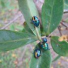 Stink Bugs - Kennedy, North Queensland, Australia by myhobby