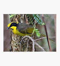 Yellow-tufted Honeyeater (Helmuted Honeyeater) Lichenostomus cassidix Photographic Print