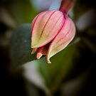 Fushcia Bud by Ray Clarke