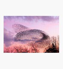 Murmuration of Starlings, November 5th 2011 Photographic Print