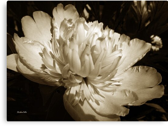 Sepia Peony Flower by Christina Rollo