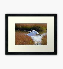 Snowy egret in flight Framed Print