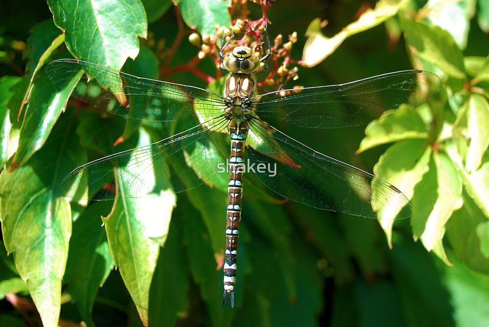 Dragonfly by shakey