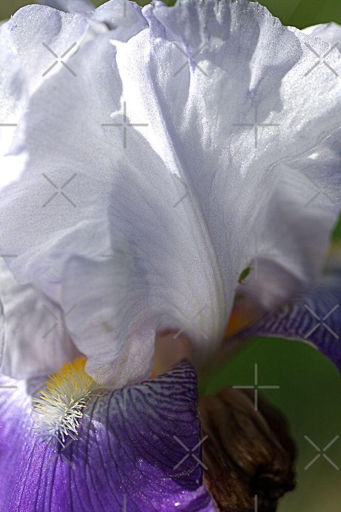 Iris - Full Bloom by Joy Watson