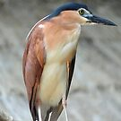 Nankeen Night Heron - Singapore by Ralph de Zilva