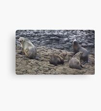 Tasmanian fur seals Canvas Print