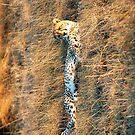 Cheetah resting by shaft77
